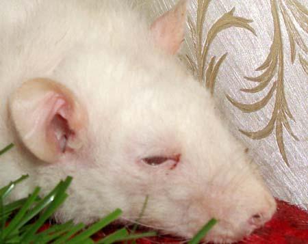 Как лечить крыс домашних условиях