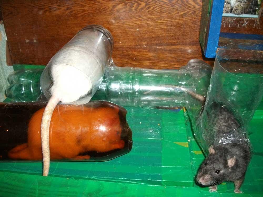 Лазалки для крыс своими руками 44