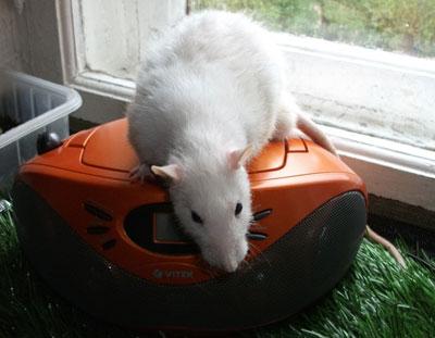 как научить собаку ловить крыс