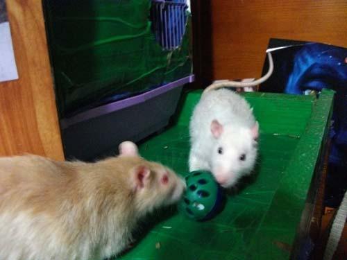 Как сделать игрушку для крыс 549