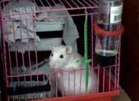 Крыса в клетке с гнездом