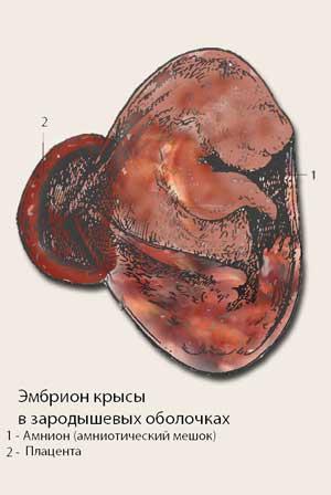 Зародыш крысы