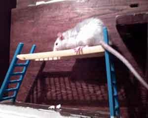 Сонник Крыса, к чему снится Крыса во сне видеть, если Крыса приснилась